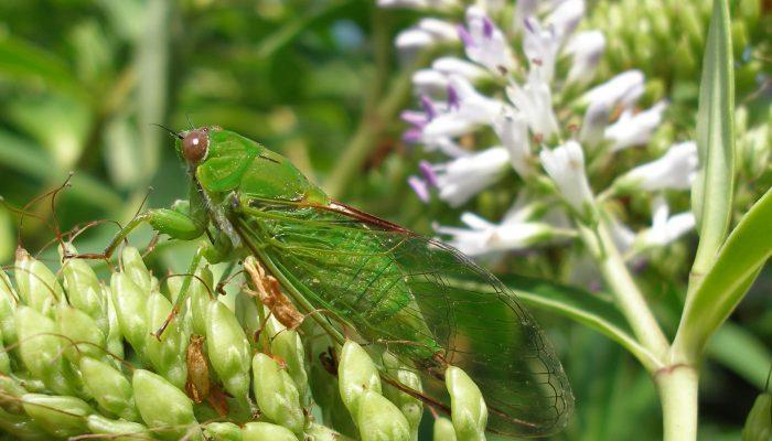 Photo of a cicada